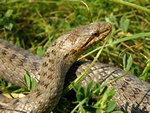 Smooth Snake (Coronella austriaca)